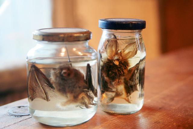 Рукокрылые: Трубконос Сибирский и Ушан Огнёва. Оба вида занесены в Красную книгу.  При экспонировании ни одна летучая мышь не пострадала.