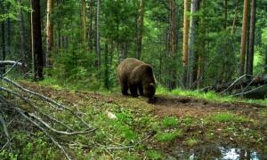 Сибирь и точка: бурый медведь