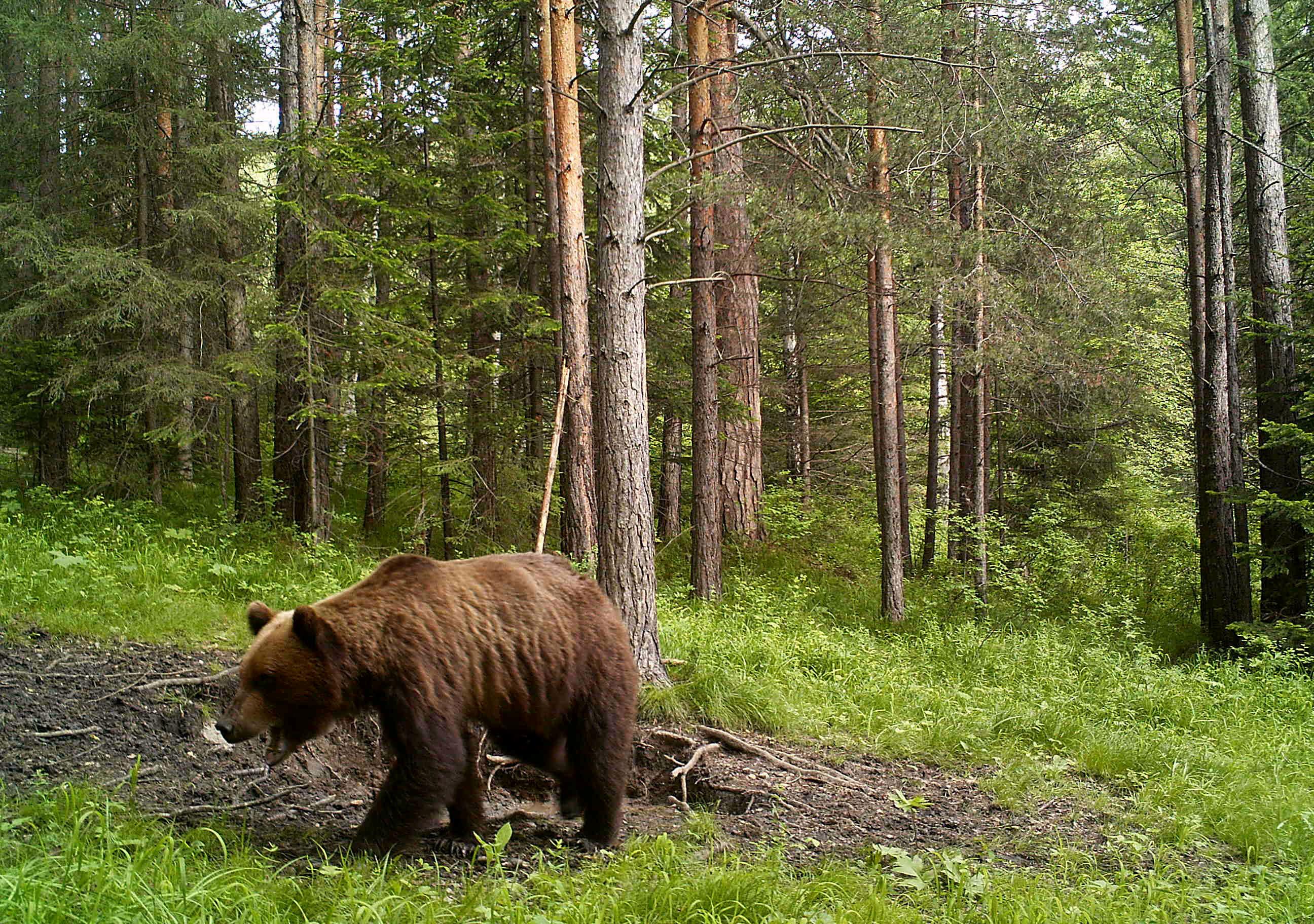 Секс рассказы бурый медведь фото 796-798