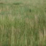 Белая антилопа